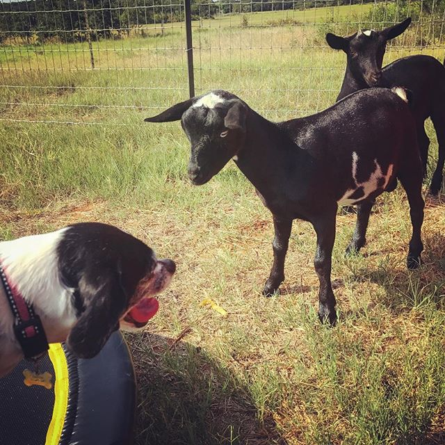 Ummmm that's our trampoline #goatsummer #puppylove #farmlife