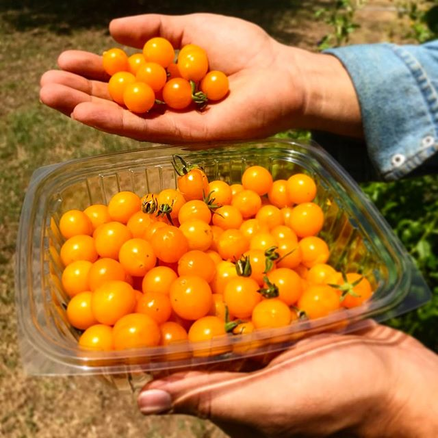 Taste the sunshine #sungoldtomatoes #summercrop #localfood