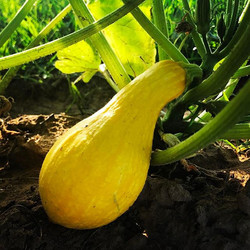Crookneck about to be harvested 💛💛💛
