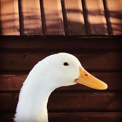 #duckface #quackquack #hereslookingatyoukid