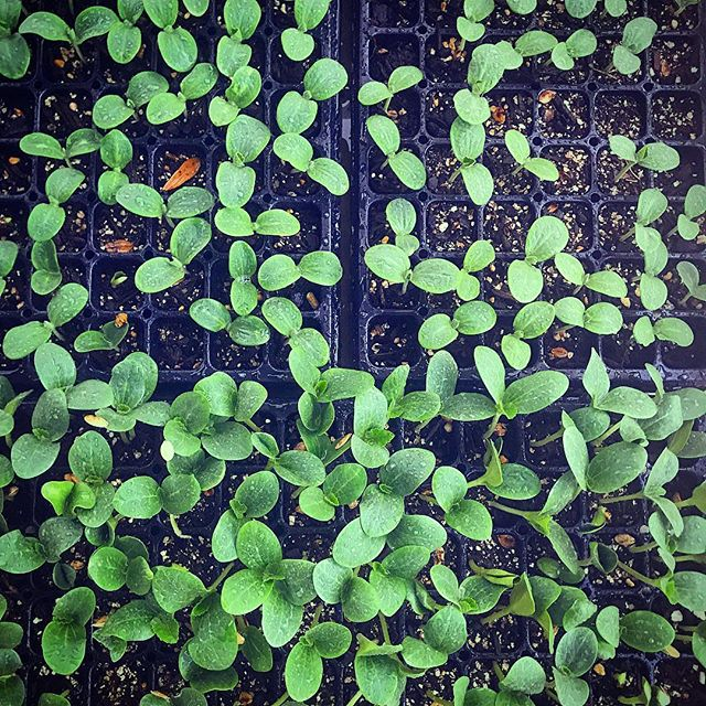 Squashlings are coming!!! 🌱🌱🌱🌱💚💚💚💚🌱🌱🌱 #fallcrop #seedlings #localfood  #organic