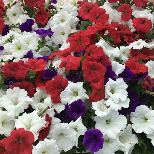 Petunia - Easy Wave Red White & Blue Mix