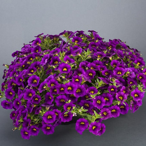 Calibrachoa - Noa Deep Purple