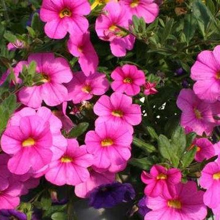Calibrachoa - Noa Mega Pink