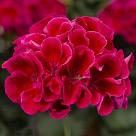Geranium - Calliope Crimson Flame