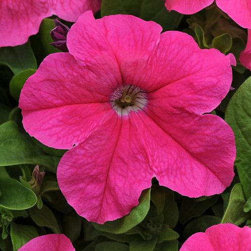Petunia compact - Pretty Grand Deep Pink