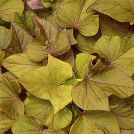 Sweet Potato Vine - Sidekick Heart Bronze