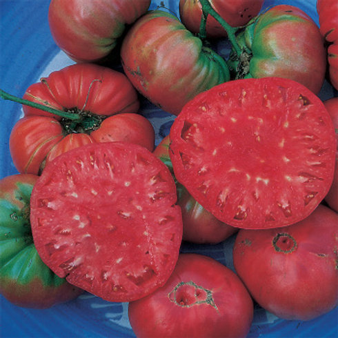 Tomato - Giant Belgium