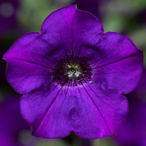 Petunia - Dekko Blue