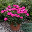 Geranium Rocky Mountain Deep Pink