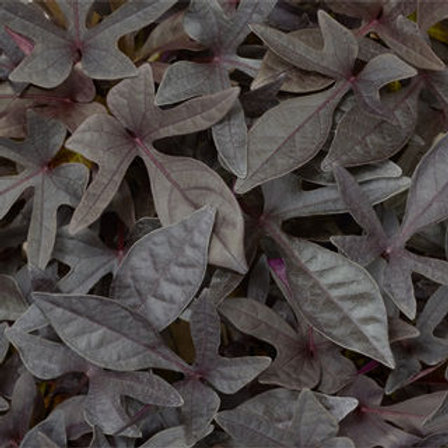 Sweet Potato Vine - Sidekick Black