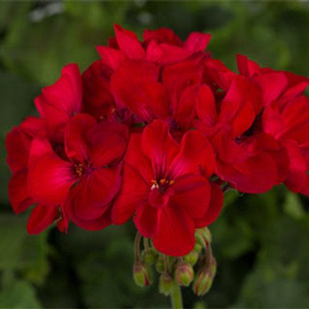 Geranium zonal - Tango Velvet Red