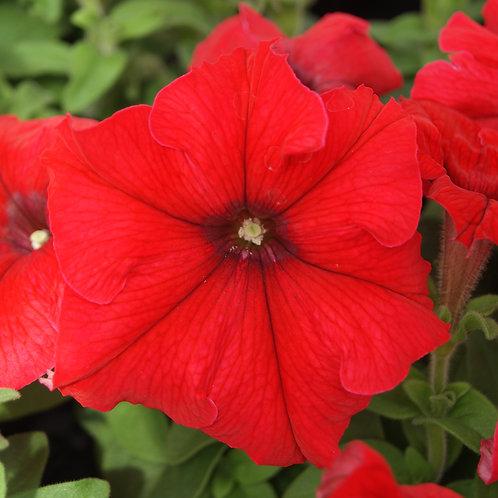 Petunia compact - Mambo Red