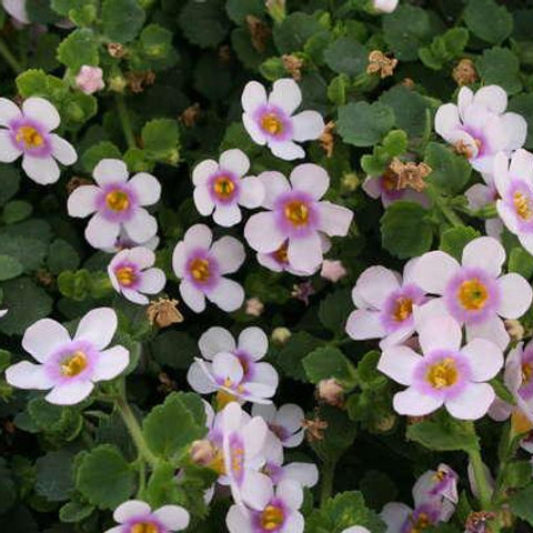 Bacopa - Scopia Great Pink Ring