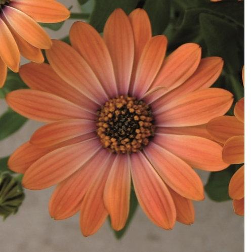 Osteospurmum (African Daisy) - Astra Orange Sunrise