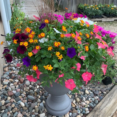Waves and Mexican Bidens Mix
