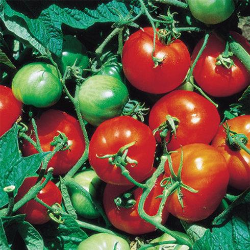 Tomato - Stupice