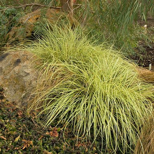 Carex - Evergold