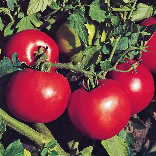 Tomato - Jet Star