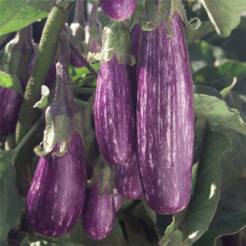 Eggplant - Fairy Tale