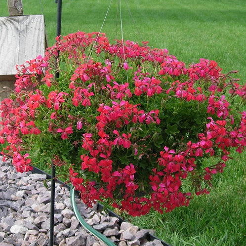 "Hanging Basket 10"" - Red Mini Cascade Geranium"