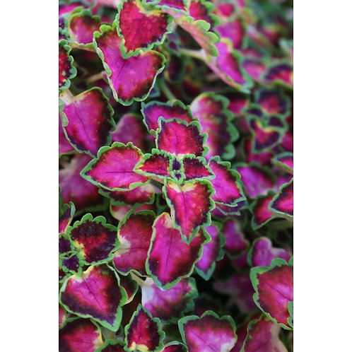 Coleus - Great Falls Angel
