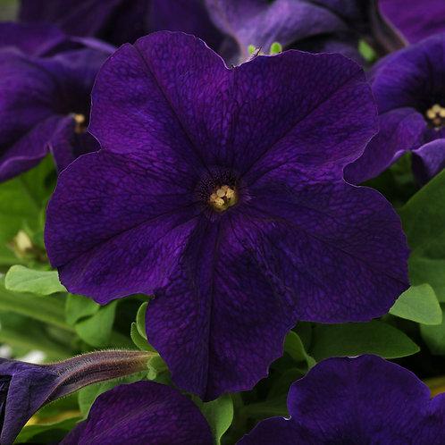 Petunia compact - Pretty Grand Midnight Blue