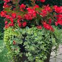 Begonia Megawatt Red Patio Pot