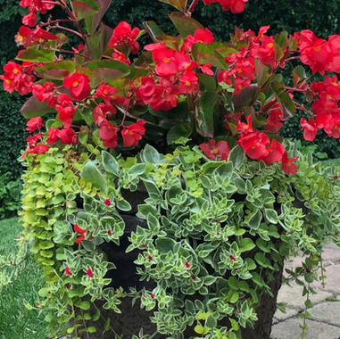 Begonia Megawatt Red Patio Pot