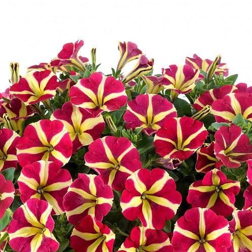 Petunia unique - Amore Queen or Hearts