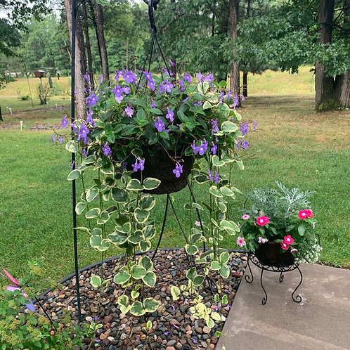 """Hanging Basket 12"""" - Violet Streptocarpus w/Vinca Vine"""