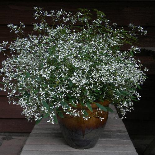 Euphorbia - Euphorbic White