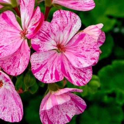 Geranium zonal - Glitter Pink