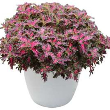 Coleus - Wildfire Smoky Rose