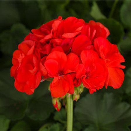 Geranium zonal - Tango Orange