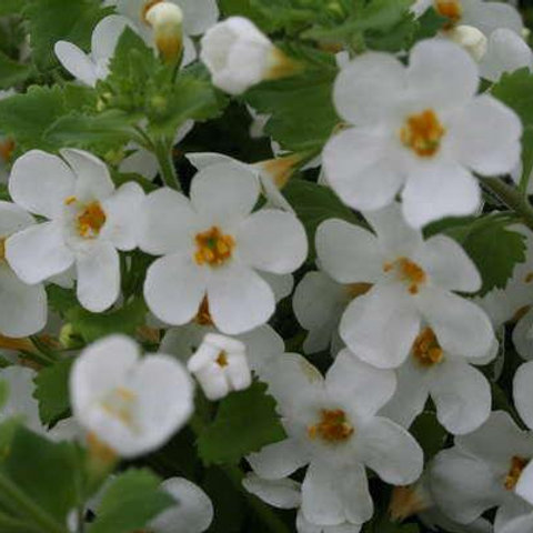 Bacopa - Scopia Gulliver White