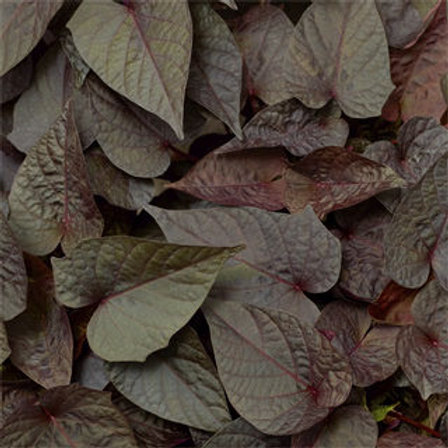 Sweet Potato Vine - Sidekick Heart Black