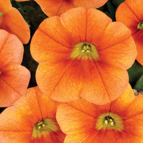 Calibrachoa - Calitastic Pumpkin Spice