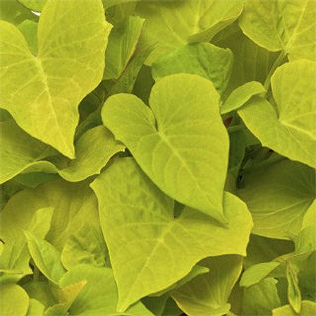 Sweet Potato Vine - Sidekick Heart Lime