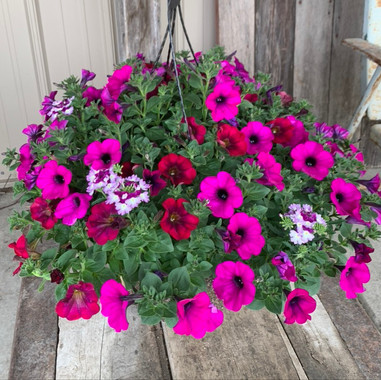 Petunia Basket Mix