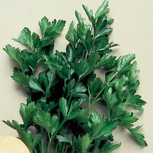 Parsley - Italian Flat Leaf