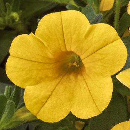 Calibrachoa - Cabrio Yellow