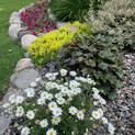 Argyranthemum in Landscape