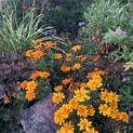 Durango Marigolds