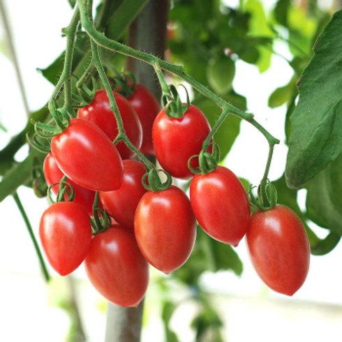 Tomato - Sugary