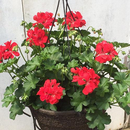 "Hanging Basket 10"" - Ivy Geranium"