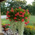 Red Mini Cascade Geranium