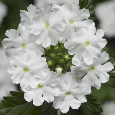 Verbena Upright - Lanai Upright White