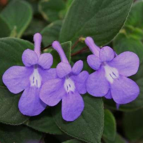 Streptocarpus (violet)