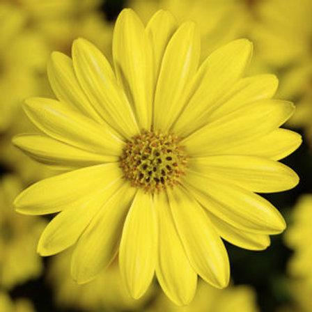 Osteospurmum (African Daisy) - Tradewinds Yellow
